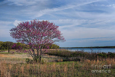 Lake Murray Redbud Tree Poster