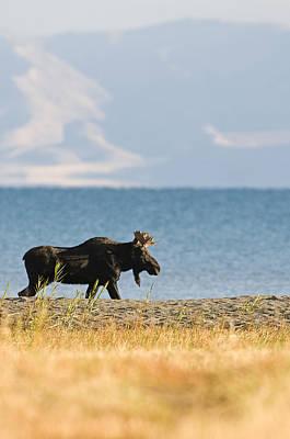 Lakeshore Bull Moose Poster