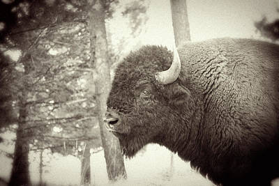 Lamar Valley Bison Poster by Mike Buchheit