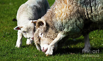 Lamb And Mother Sheep Bonding Poster by Simon Bratt Photography LRPS