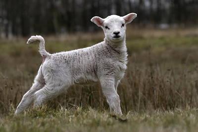 lamb in nature area Dwingelderveld Poster