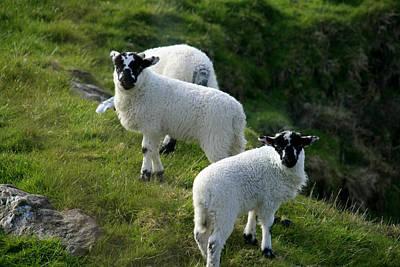 Lambs In Farm Landscape Poster by Aidan Moran