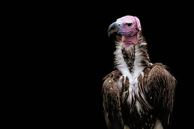 Poster featuring the photograph Lappet-faced Vulture - Africa - African Vulture - Nubian Vulture by Jason Politte