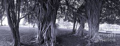 Large Banyan Trees In A Park Poster