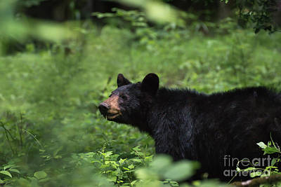 Poster featuring the photograph Large Black Bear by Andrea Silies