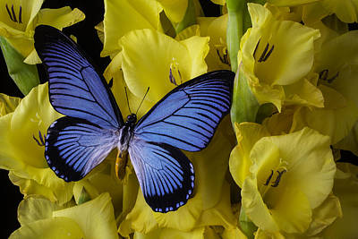 Large Blue Winged Butterfly Poster by Garry Gay