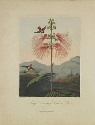 Large Flowering Sensitive Plant Poster by Robert John Thornton
