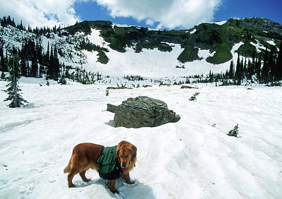 Large Golden Retriever Backpacking In The High Mountains In The  Poster