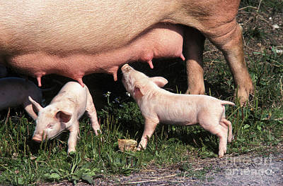Large White Pig, Piglet Suckling Sow Poster by Gerard Lacz
