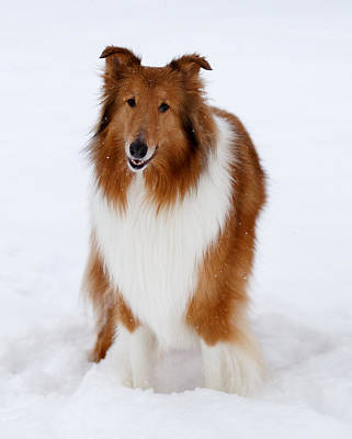 Lassie Enjoying The Snow Poster by Shane Holsclaw