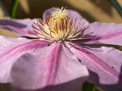 Late Season Bloom - 1 - Clematis Poster