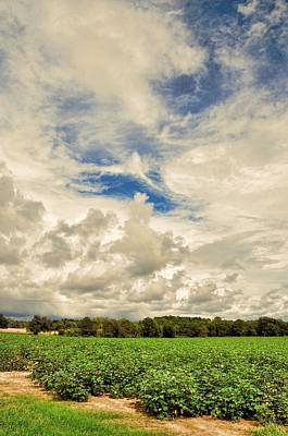 Late Summer Cotton Poster by Jan Amiss Photography