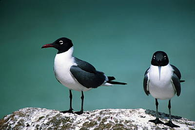 Laughing Gulls Poster by Sally Weigand