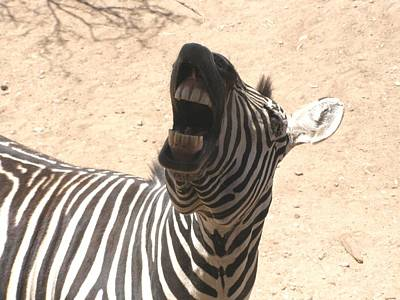 Laughing Zebra Poster by Jeanette Oberholtzer
