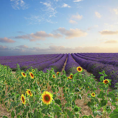 Lavender And Sunflower Flowers Field Poster