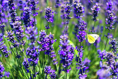 Poster featuring the photograph Lavender And The Heart by Ryan Manuel