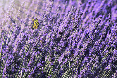 Lavender And Tiger Swallowtail In The Morning Light Poster by Diane Schuster