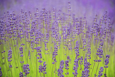 Poster featuring the photograph Lavender Fantasy by Jani Freimann