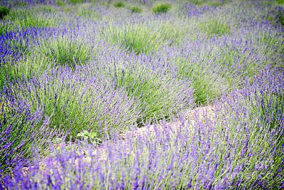 Lavender Field Farm Landscape Poster by Andrea Hazel Ihlefeld