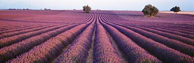 Lavender Field, Fragrant Flowers Poster by Panoramic Images