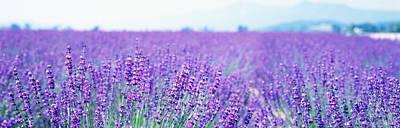 Lavender Field Japan Poster