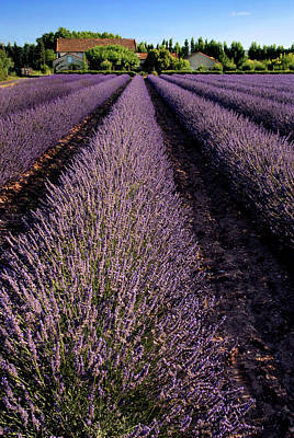 Lavender Field Provence France Poster by Dave Mills