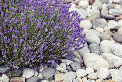 Lavender Flower In The Garden,park,backyard,meadow Blossom In Th Poster by Jingjits Photography
