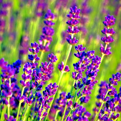 Lavender Flowers In Bloom Poster