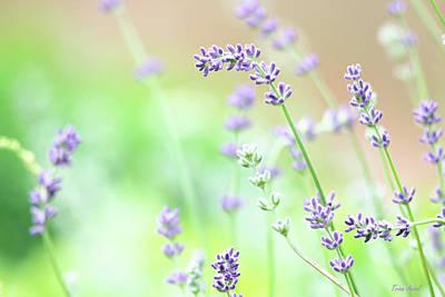 Lavender Garden Poster