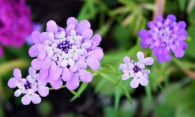 Lavender Hue Poster