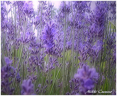 Lavender Poster by Mikki Cucuzzo