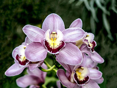 Lavender Orchid Poster