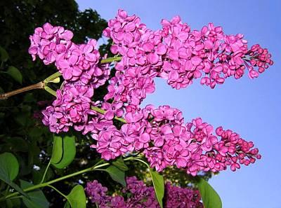 Lavish Lilacs Poster