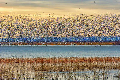 Layers - Snow Geese Poster by Nikolyn McDonald