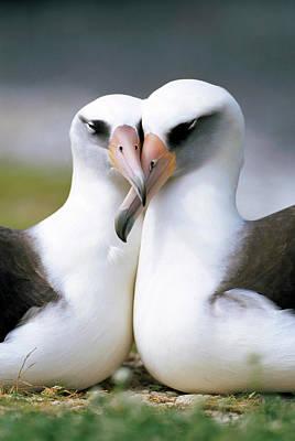 Laysan Albatross Phoebastria Poster by Tui De Roy
