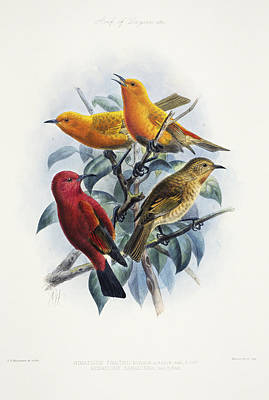 Laysan Honeycreeper Poster by Reggie David - Printscapes