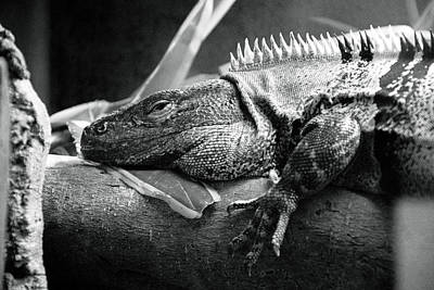 Lazy Lizard Poster