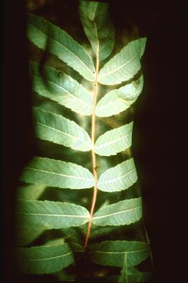 Leaf Frond Poster by Arla Patch