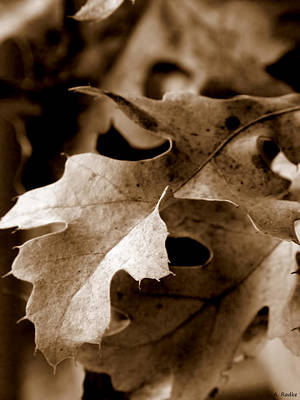 Leaf Study In Sepia IIi Poster