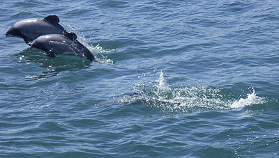Leaping Hector's Dolphins Poster