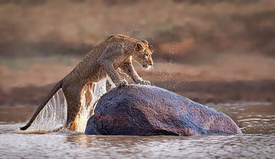 Leaping Lioness Poster by Stu  Porter