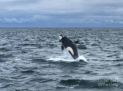 Poster featuring the photograph Leaping Orca by Barbara Von Pagel