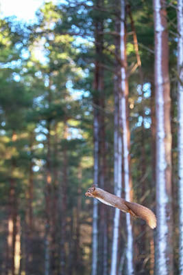 Leaping Red Squirrel Tall Poster