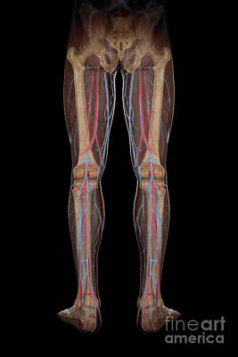 Leg Blood Supply Poster by Science Picture Co