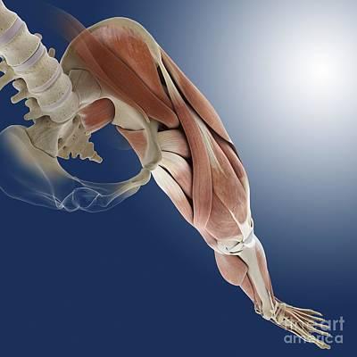 Leg Muscles, Artwork Poster