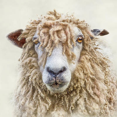 Leicester Longwool Sheep Poster by Linsey Williams