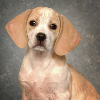 Lemon Beagle Puppy Poster