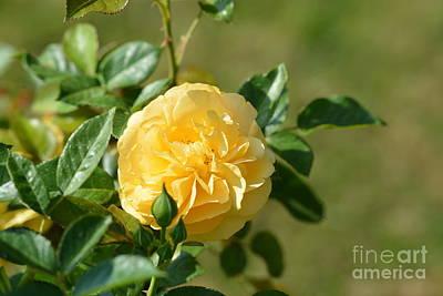 Lemon Ruffled Rose Poster by Maria Urso