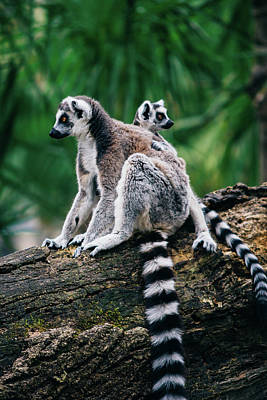 Lemur And Baby Poster by Pati Photography