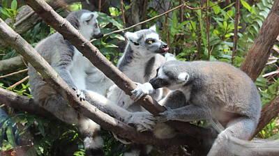 Lemur Family 1 Poster by Tim Michael Ufferman